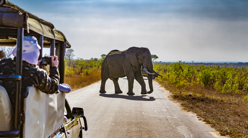 África do Sul. Safari no Parque Nacional Kruger - Elefantes africanos (Loxodonta africana). Seguro viagem internacional