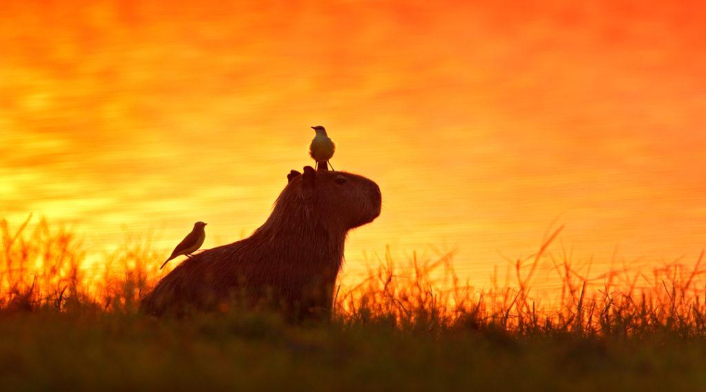Capivara na água do lago com pássaros. O maior rato do mundo, Capivara, Hydrochoerus hydrochaeris, com luz noturna durante o pôr do sol laranja, Pantanal, Brasil. Imagem engraçada, natureza tropical.