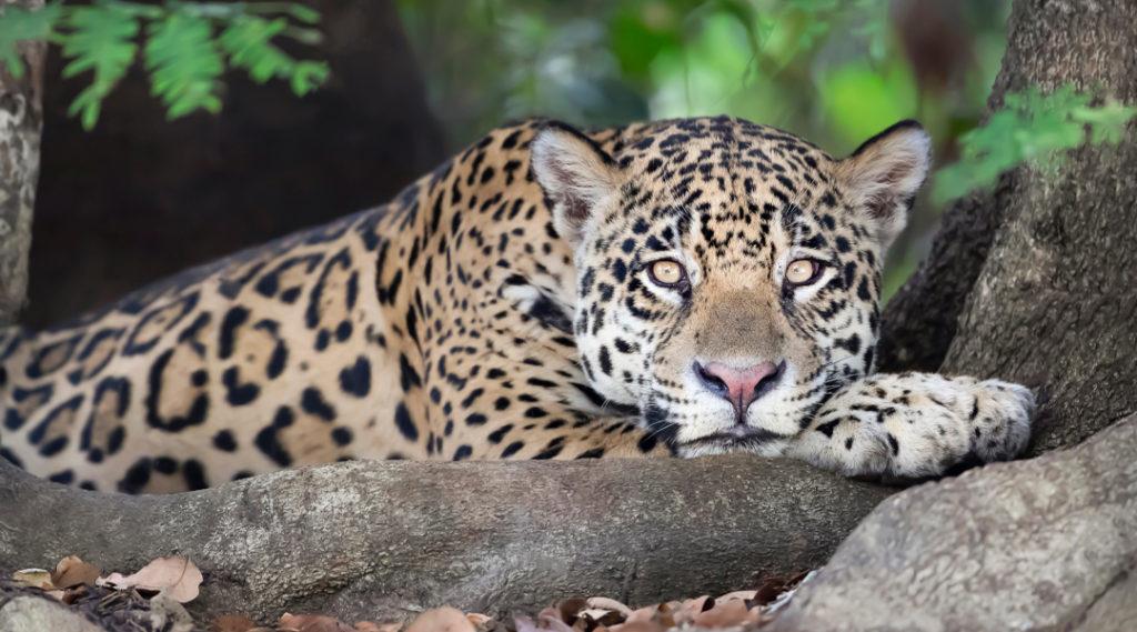 Perto de um Jaguar deitado ao lado de uma árvore na margem de um rio, Pantanal, Brasil. Pontos turísticos do Centro-Oeste