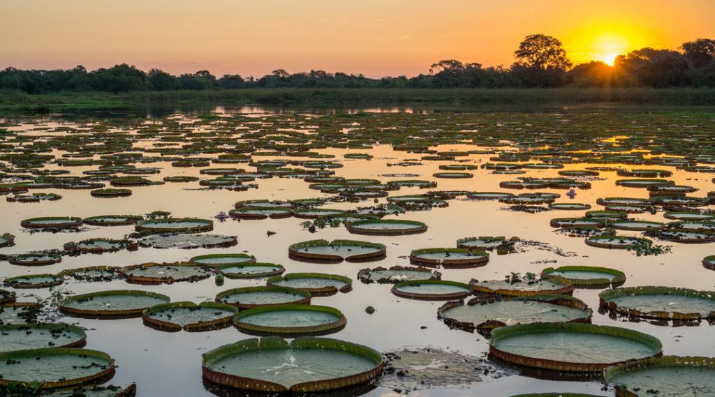 Pôr do sol de alto contraste no Pantanal brasileiro com victoria regias e água